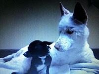 ゴミの山から助けられたハスキー犬 動画に感動